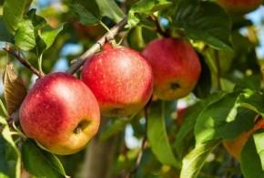 تعلموا زراعة أشجار التفاح وأهم الأمراض والآفات التي تصيب محصول وثمار شجرة التفاح ..