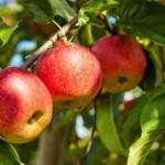 زراعة-أشجار-التفاح-660x330