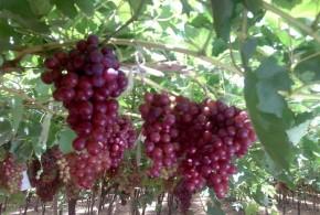 """الشركة العامة لتصنيع العنب بـ""""حمص"""" تستعد لاستقبال موسم العنب من الفلاحين لهذا العام بكمية بلغت 3600 طن – مشاركة:  Salman AlAhmad"""